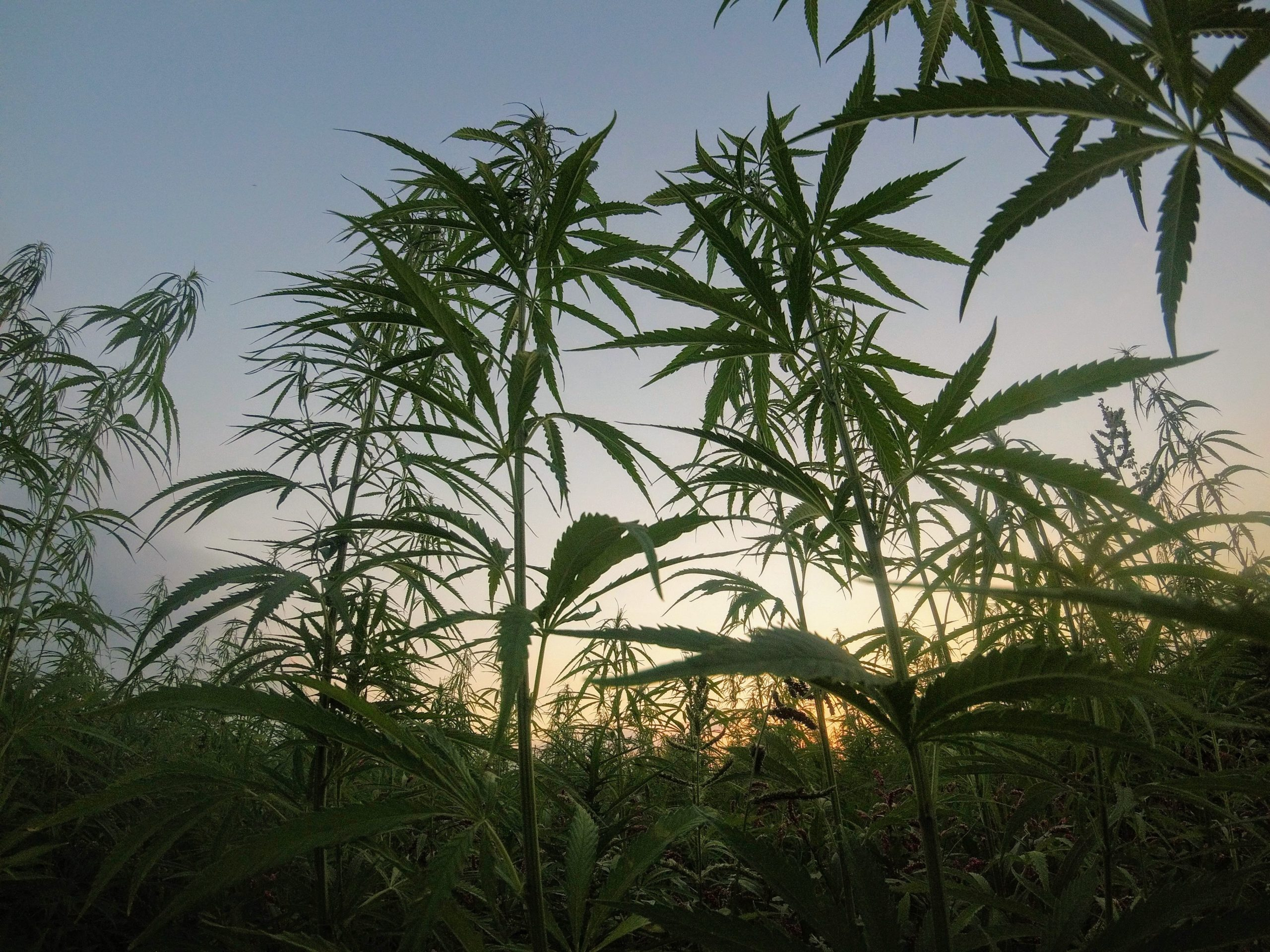 marijuana_plant_silhouette_against_sunset